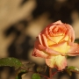 capullo-rosa1.jpg