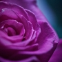 capullo-rosa2.jpg